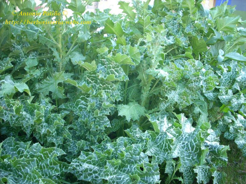 Cardo mariano silybum marianum planta medicinal review ebooks